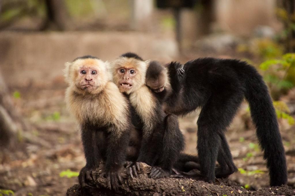 обитание обезьян в картинках заняли северную часть