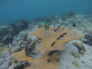 Endangered elkhorn coral? Check. Picture by Victoria Green.