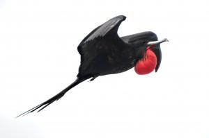 Magnificent Frigatebird ( Fregata magnificens)