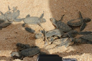 Green turtle hatchlings!