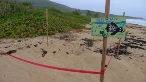 Leatherback nest from the previous day, marked with a sign painted by a kid that lives on the island.