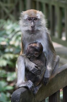 Mama Macaque