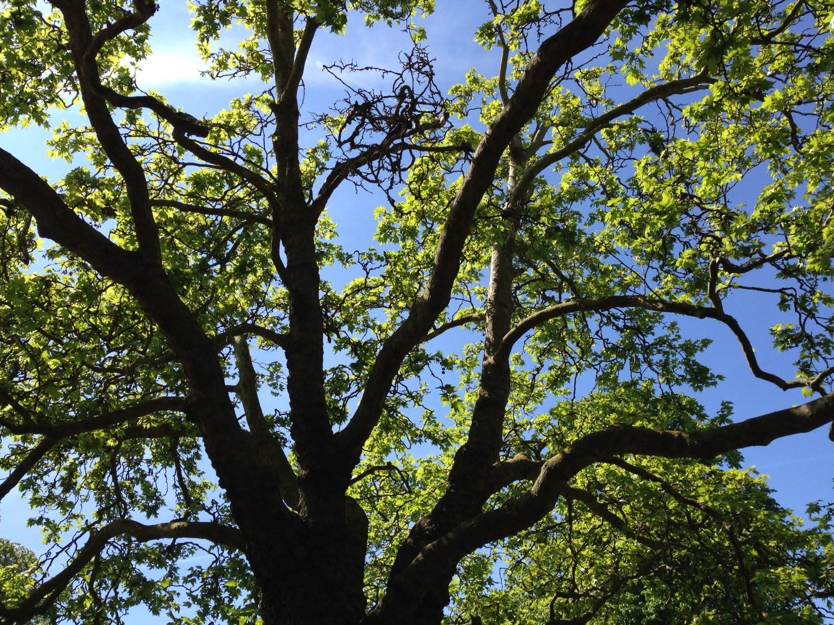 Tree in Canterbury