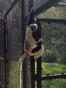 "A coquerel's sifaka just hanging out.  They move by ""vertical clinging and horizontal leaping.""  Here we can see some of the clinging motion, and to move from place to place, they'll leap from side to side."