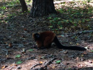 A beautiful red ruffed lemur looking for the lemur chow that we threw on the ground. Lemurs tend to eat things like fruit, flowers, leaves, and sometimes insects.