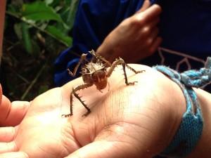 Armored cricket in Gabon